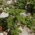 Amaranthus viridis, L.
